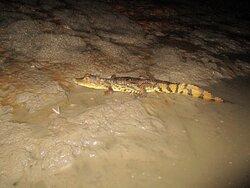 Night excursion, alligator observation