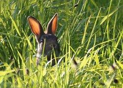 Rabbit at Badger Watch