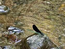 Rittenhouse Park Emerald  Tail Damselfly