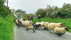 Frisky lambs!
