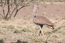 A Kori Bustard in Awash National Park, Ethiopia, one of the largest birds capable of taking flight.