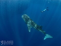 Whale Shark and snorkeller
