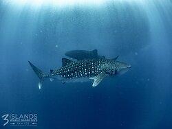 2 whale sharks