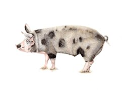 Our Bespoke Pig, drawn by local artist Rebecca Cropper who has her own shop in Bowness on Windermere