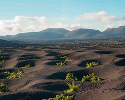 Plantación de viña en tierra volcánica.
