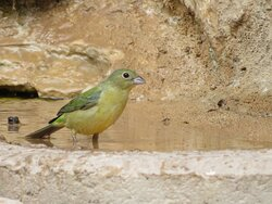 Female Painted Bunting. South Llano River State Park. Junction, TX, May 2021
