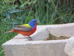 Male Painted Bunting. South Llano River State Park. Junction, TX, May 2021