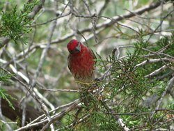Male House Finch. South Llano River State Park. Junction, TX, May 2021
