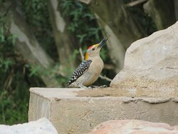 Golden Fronted Woodpecker. South Llano River State Park. Junction, TX, May 2021