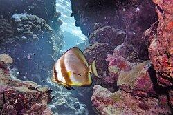 Batfish at house reef