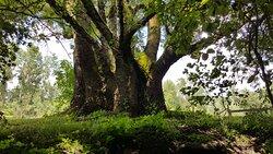 Tout au long de promenade en barque, on peut admirer, entre autres, de magnifiques et très vieux arbres