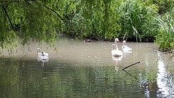 Les cygnes blancs du parc