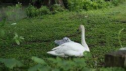 Les cygnes blancs du parc. Maman et son petit