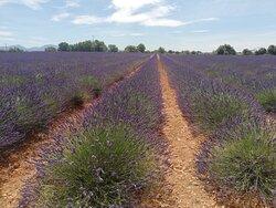 Lavander fields...