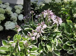 The Shoppes at Grand Prairie: Hydrangea & Hosta blooming. Peoria IL. July 2021