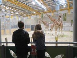 giraffe viewing down stairs