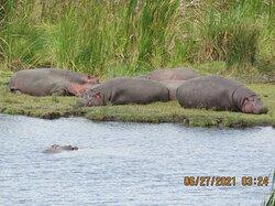Ngorongoro Conservation Area hippos