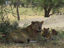 Tarangire National Park lioness and 2 cubs