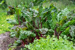 The Hana Harvest Farm grows fruits and veggies for the cafe.