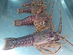 Fresh Spine Lobster 🦞