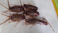 Fresh lobsters 🦞!!