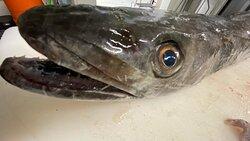 Arrivage quotidien de poissons frais