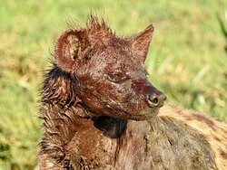 Well fed Hyena