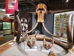 Restes de mammouth