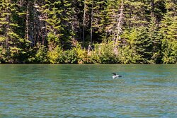 Loon in Tobin Harbor as We Paddled to the Trailhead