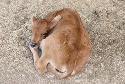 Future herd member - gorgeous Jersey Calf