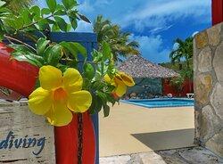 Flowering allamandas at the pool entrance