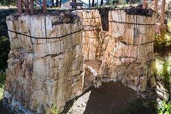 Large Petrified Stumps Near Visitor Center