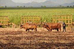 Dur travail dans les champs de canne Hard work in sugar cane fields Trabajo duro en los campos de azúcar