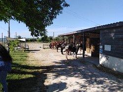 Préparation des chevaux avant le départ.