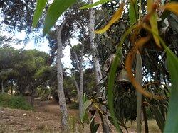 Árboles. Eucaliptos