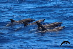 Rough-toothed dolphin. OceanExplorer