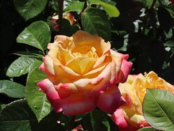 Rose garden at the Julia Davis Park in Boise, Idaho.