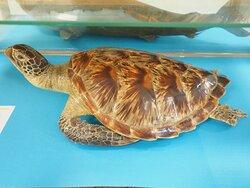Chelonia mydas - green turtle
