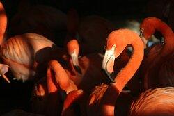 Caribbean flamingos will dazzle you.