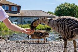 Gentle, tame birds will eat grain from your hand