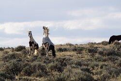 Wild Mustangs in Cody, Wyoming