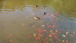 Swimming red fish and ducks in the Big Forest, Debrecen.