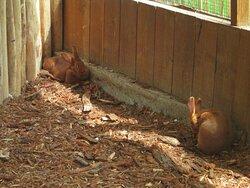 Des lapins un peu plus gros.