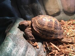 Larry, the Russian Tortise