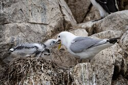 Fedding thre chick on Inner Farne Island.