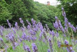 ラベンダー園 景観一例