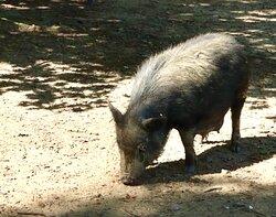 Pigs roam freely