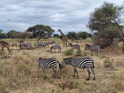 Safari avec Franck, Terangire