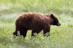 Cinnamon black bear momma.