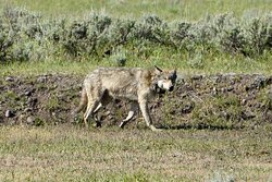 We spotted this wolf on the Lamar Valley from the Junction Butte pack.